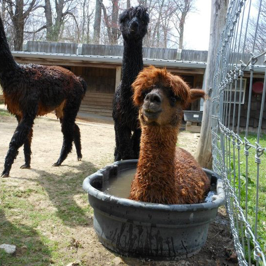 NationalAlpacaDayAppleHillFarm.jpg