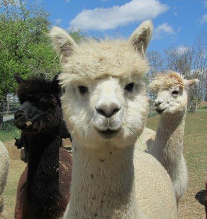 alpacashearingdayapplehillfarm.jpg