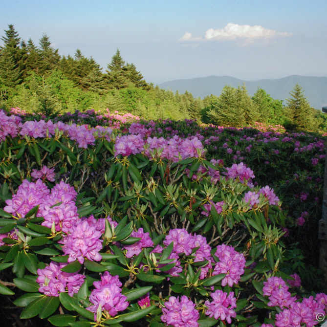 High Country Rhododendron Viewing
