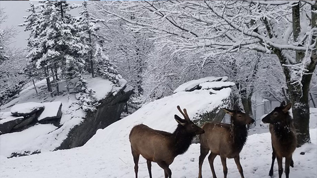 Grandfather Mountain Elk Habitat