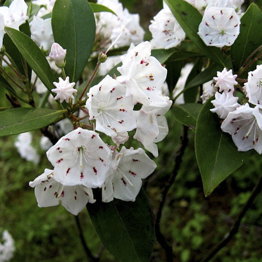 Mountain Laurel Blue Ridge Parkway NC Wildflowers