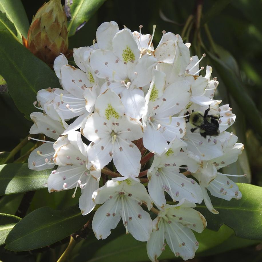 Rosebay Rhododendron Blue Ridge Parkway NC Wildflowers